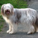 The Bearded Collie